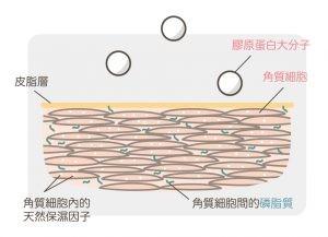 膠原蛋白_大分子